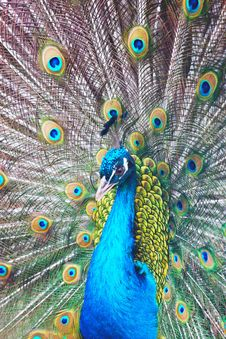 Free Peacock Royalty Free Stock Image - 8558866