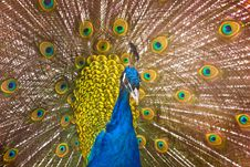 Free Peacock Royalty Free Stock Image - 8558876