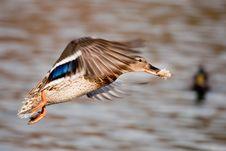 Free Flying Mallard Stock Photography - 8559002