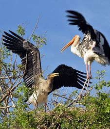 Free Fighting Storks Stock Photography - 8559142