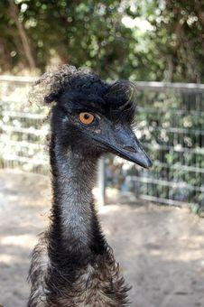 Free Emu Royalty Free Stock Images - 8559239