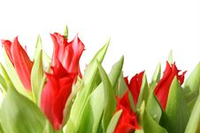 Gentle Tulips Stock Photography