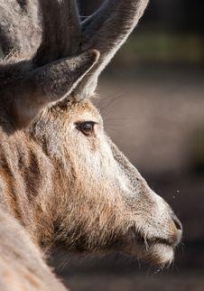 Free Reindeer Stock Photos - 8559323
