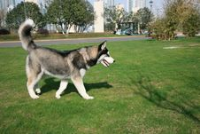 Siberian Husky Dog On Lawn Royalty Free Stock Image