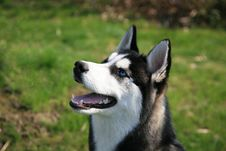 Free Siberian Husky Dog Open Mouth Royalty Free Stock Images - 8560629