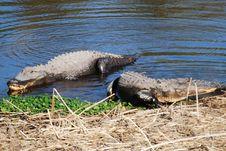 Free Alligators On Shore Bank Stock Image - 8560651