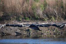 Free Alligators Sunbathing Royalty Free Stock Photography - 8560727