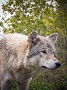 Free Wolf Stock Photo - 8561100