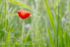 Free Spring Poppy With Dew In The Light Of The Sun Royalty Free Stock Images - 8563049