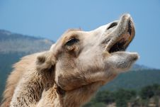 Free Singing Camel Stock Photography - 8563132