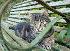 Free Silver Tabby Relaxing Royalty Free Stock Photos - 8563358