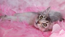 Free Cat In Pink Feathers Royalty Free Stock Photos - 8563448