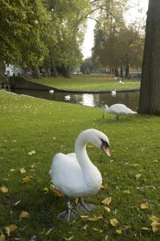 Free Brugge Swan Stock Photography - 8564582