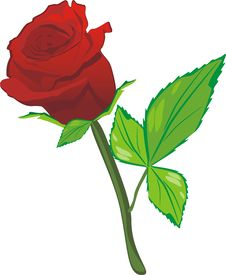 Free Red Rose On The White Background Stock Images - 8564684