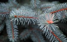 Free Blue Spruce Stock Photo - 8565050