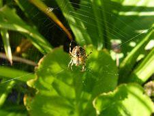 Free Garden Spider Stock Photography - 8565162