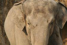 Free Elephant Stock Images - 8567494