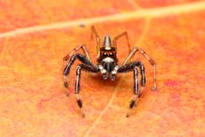 Free Spider (Epeus Alboguttatus) Stock Photo - 8568040
