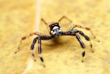 Free Spider (Epeus Alboguttatus) Royalty Free Stock Photo - 8568185