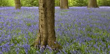 Free Bluebell Wood Stock Images - 8569574