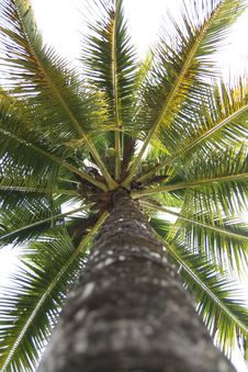 Free Coconut Tree Stock Images - 8569764