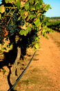 Free Down The Vines Stock Images - 8570834