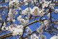 Free Almond S Flowers Stock Photo - 8573140