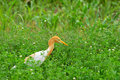 Free Cattle Egret Stock Photography - 8577292