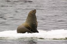 Free Northern Sea-lion (Eumetopias Jubatus) Stock Photo - 8571090