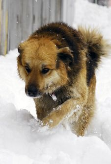 Free Dog Is Walking On The Snow Royalty Free Stock Photo - 8571785