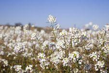 Free Teesdalia Coronopifolia In Full Bloom Stock Image - 8573161