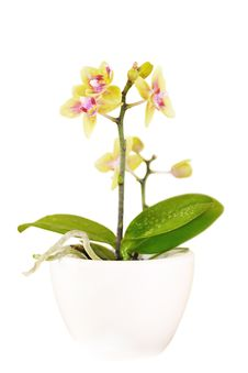 Free Decorative Orchid On White Royalty Free Stock Image - 8574396