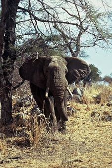 Huge Elephant,Tarangire NP,Tanzania Stock Photo