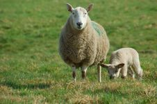 Free Mother Sheep And Spring Lamb Stock Photo - 8576140