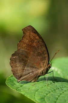 Free Butterfly On Green Leaves Closeup Royalty Free Stock Photos - 8576228