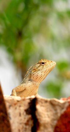 Free Chameleon Stock Image - 8577031