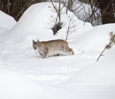 Siberian Lynx Walking Slowly In Snow Royalty Free Stock Image