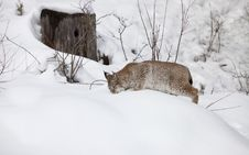 Siberian Lynx Hunting For Food Stock Photography