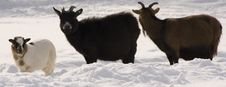Free Goats Stock Photos - 8579033