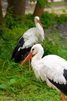 Free Stork Royalty Free Stock Photos - 8579778