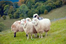 Sheep In Mountain Stock Images