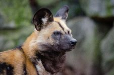 Free African Wild Dog Royalty Free Stock Photos - 85701218