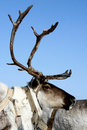 Free Reindeer Royalty Free Stock Images - 8583679