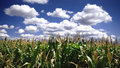Free Corn Field Royalty Free Stock Photos - 8584898
