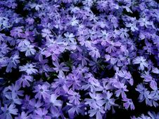 Free Purple Blossoms Royalty Free Stock Images - 8581889