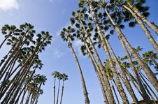 Free Palm Trees Cluster Royalty Free Stock Photography - 8582207