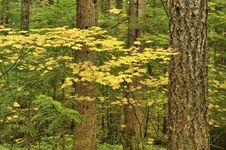 Free Vine Maple Forest Stock Photos - 8583733