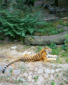 Free Wild Tiger Stock Images - 8585014
