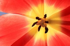Free Red Exposed Tulip. Royalty Free Stock Images - 8585079