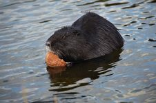 Free Nutria And Bread Stock Images - 8585174